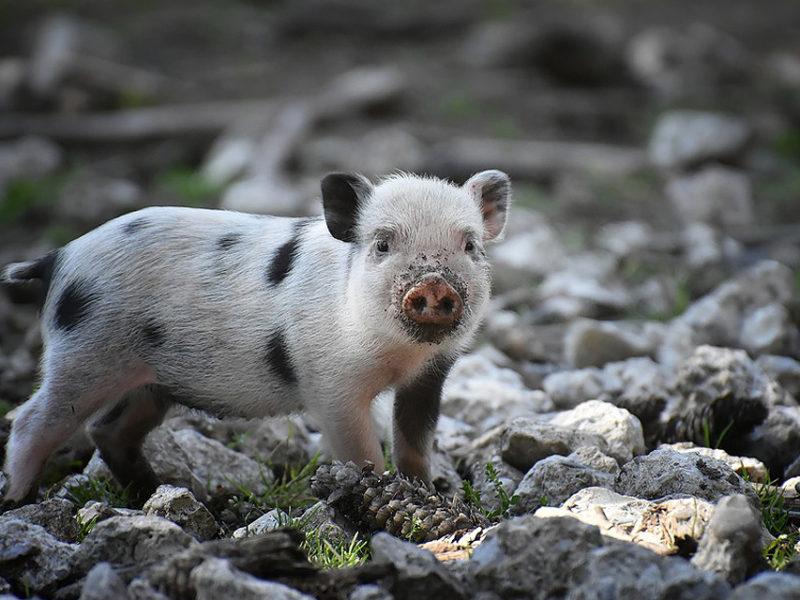 Świnie, jakich nie znamy